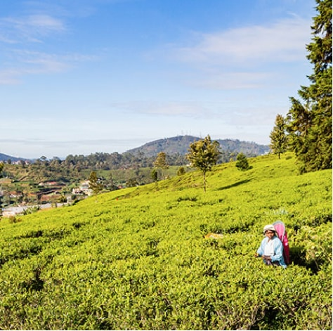 A tea plucker at a tea estate