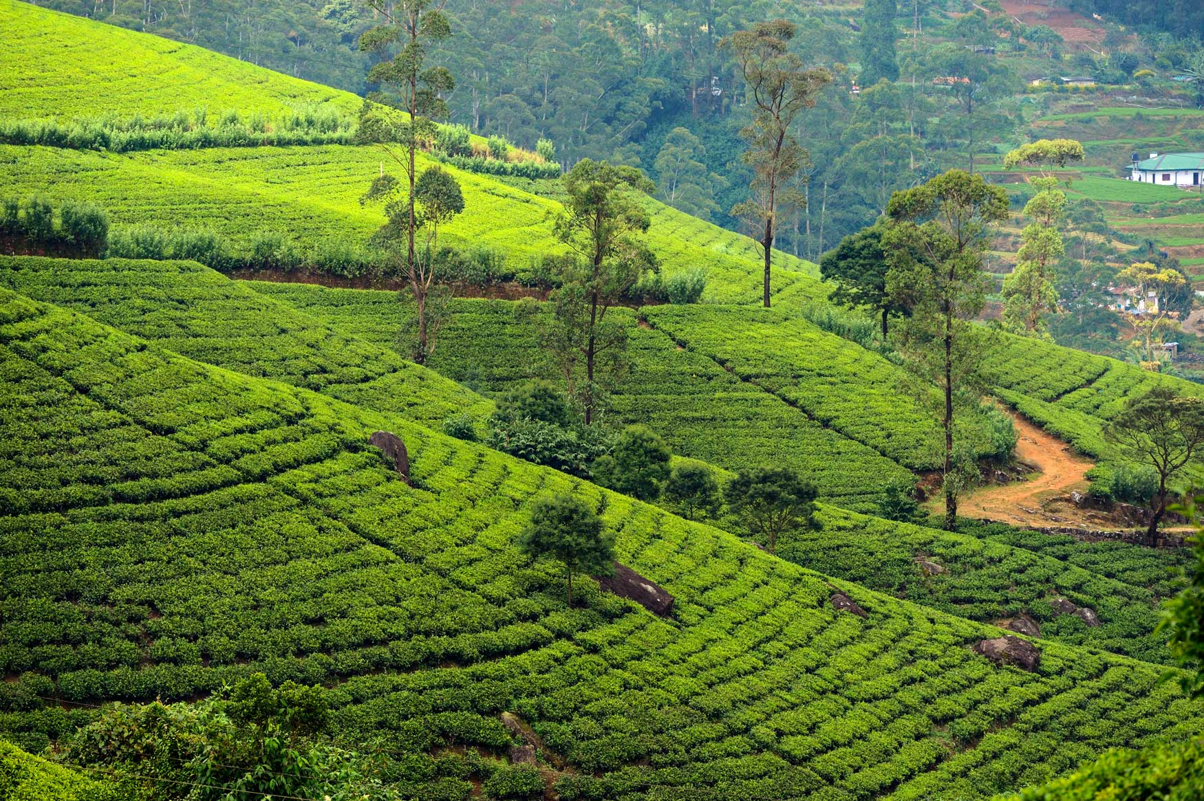 A Sri Lankan tea estate