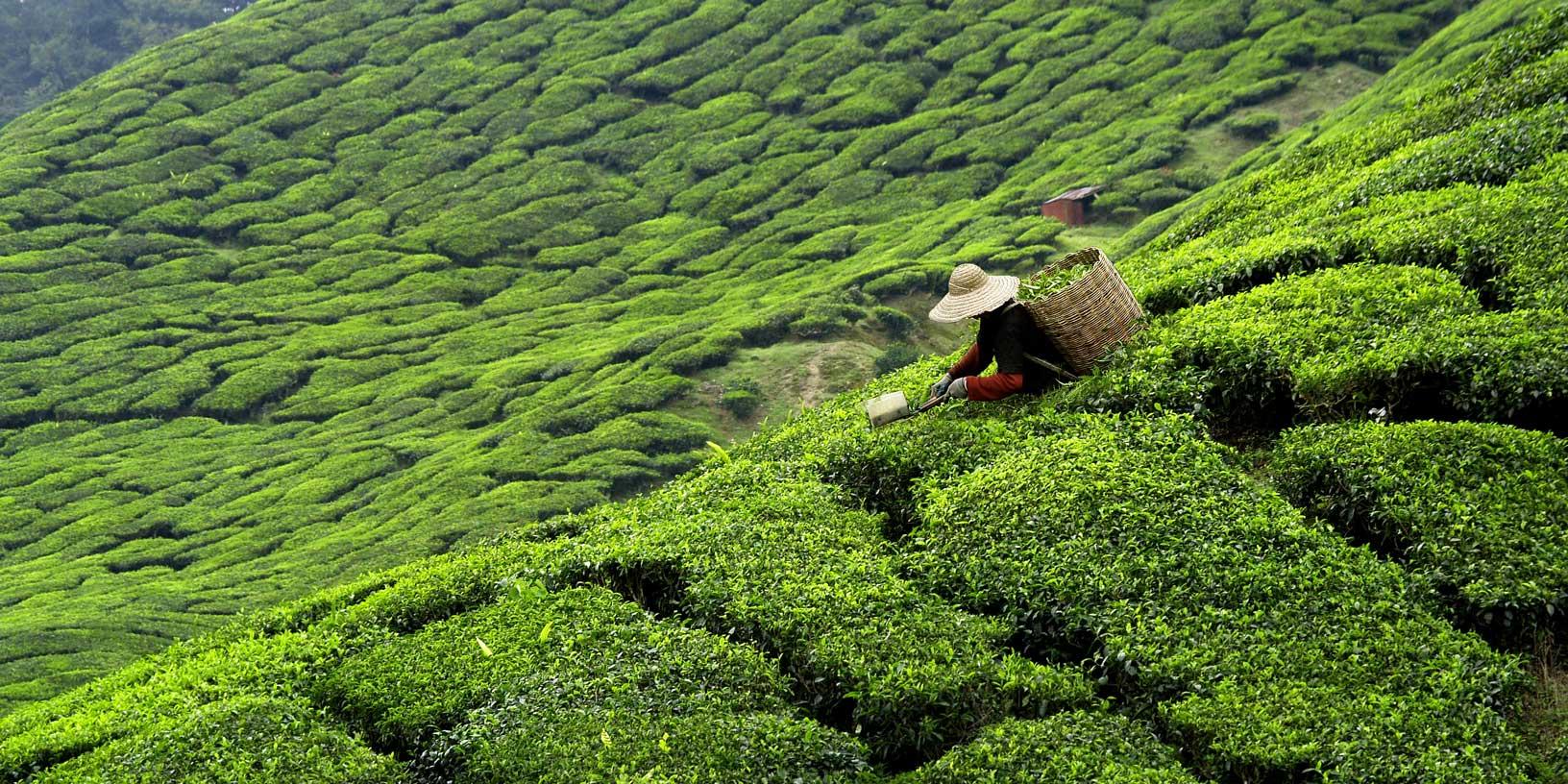 A woman plucking tea in an estate